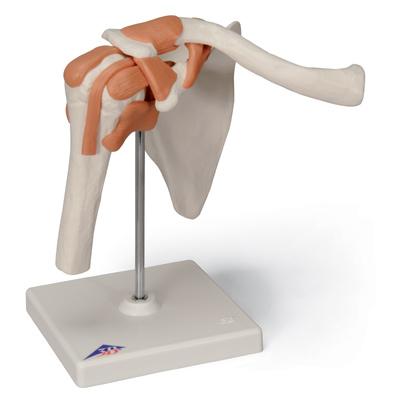 Articulación del hombro, modelo funcional | ARTICULACIONES