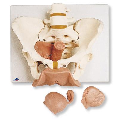 Esqueleto de la pelvis con órganos genitales, femeninos, en 3 piezas ...