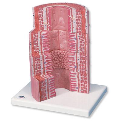 Tracto Digestivo - 3B MICROanatomy   HISTOLOGÍA   Tienda online de ...
